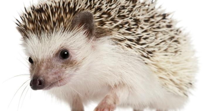 Are you a hedgehog or a fox?